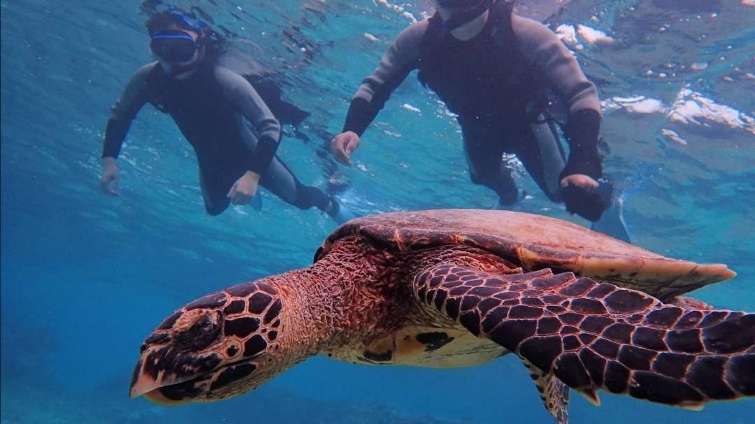 ウミガメとの遭遇率99%!感動のシュノーケリング!! シュノーケリングでは高確率でウミガメと泳ぐことができます!もちろん、ウミガメだけでなく、美しいサンゴや魚を見ることもできます。