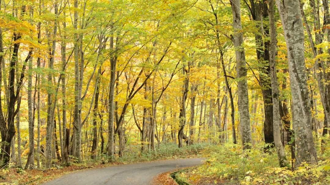 「国道401号 博士峠」道の両側に林が広がり、まるで紅葉のトンネルのようになります。