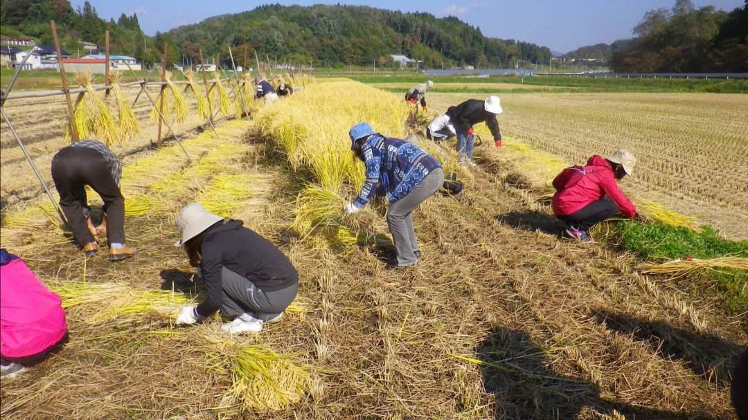 基本的にはコンバインで稲刈りをしていますが、一部の稲はカマで刈って、天日干ししています。