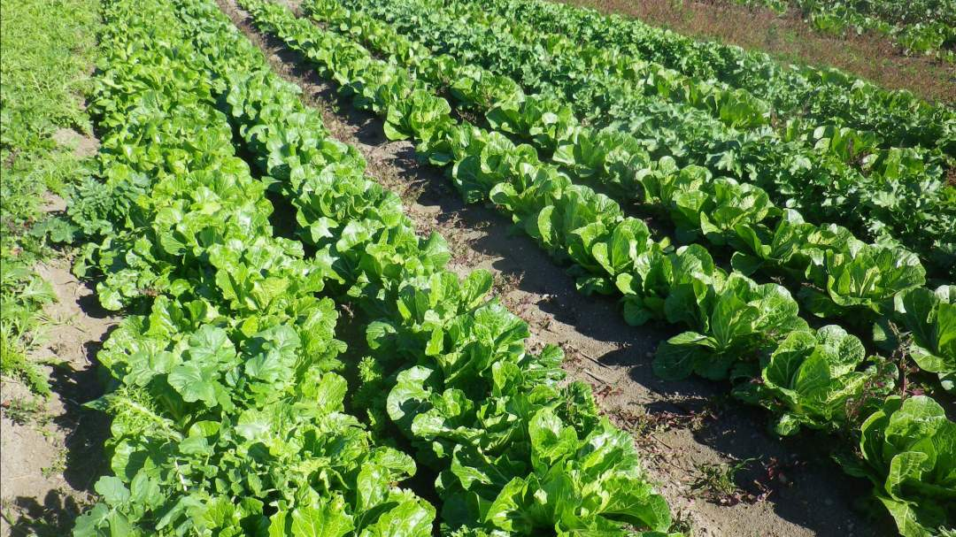 真冬でも露地栽培(ビニールハウスなどを使わない)をしています。無農薬・無化学肥料で10年以上栽培しているため、土壌菌が豊富で野菜が強くなっています。