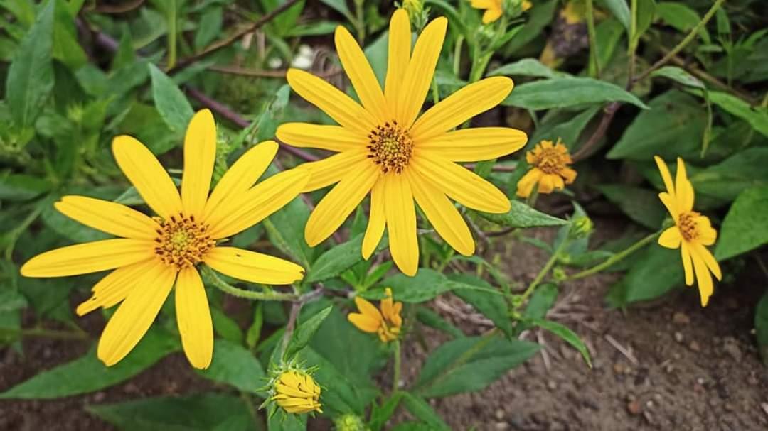 収穫前にはきれいな菊の様な花が咲きます。 花が枯れてから45日程度たってから収穫に入ります。 収穫期は11月中~3月中頃までとなります。