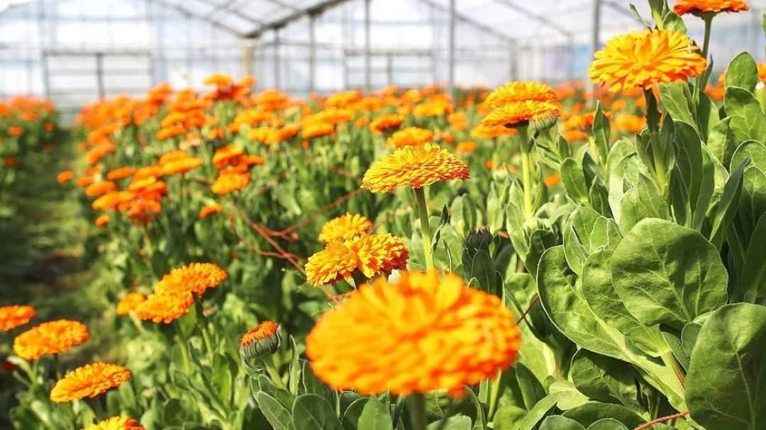 南房総はカレンデュラの生産量日本一。春になるとオレンジ色のカレンデュラ畑が広がります。
