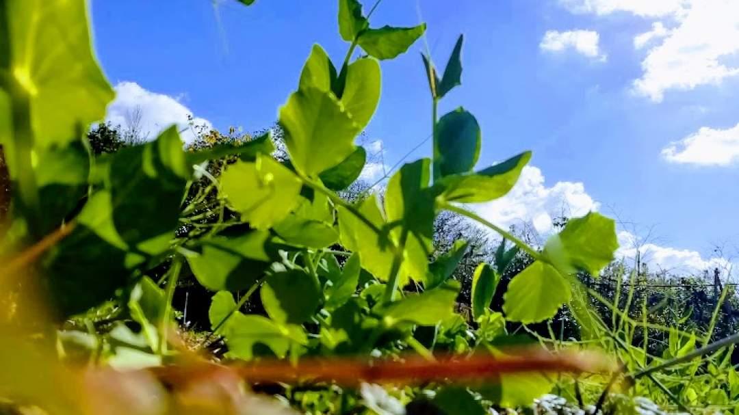 種豆を気が遠くなるほど一粒一粒畑に蒔いていきます。しかし、せっかく蒔いた種豆やせっかく出てきた新芽を野生のキジに食べられてしまうこともあります。そうなるとちょっとくじけそうになりますが、自然と共存する上では仕方のないこと。そんな中でもすくっと育ってくれると本当にうれしいんです。