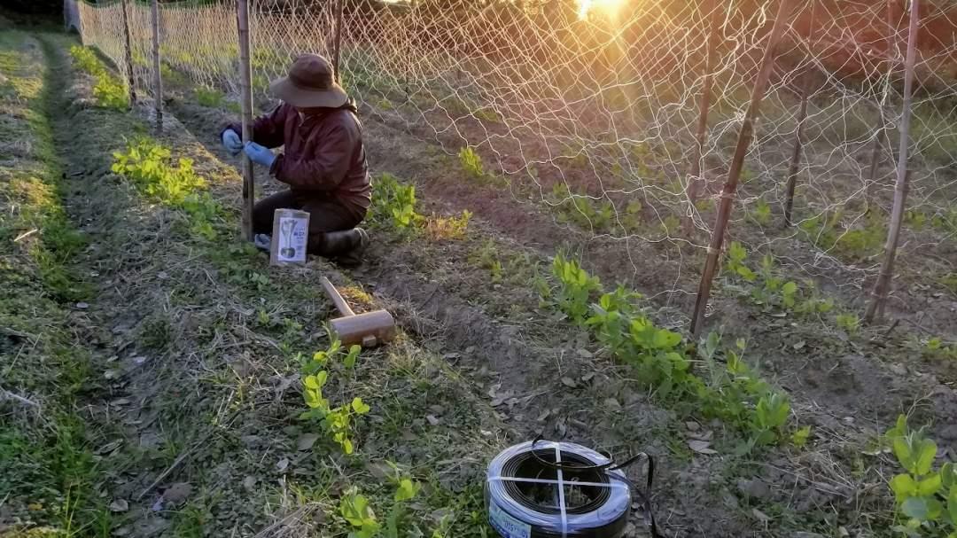 春に収穫する野菜は、寒い冬の作業が欠かせません。朝から夕方まで、一日中えんどうがしっかりつるをのばせるようにネットを張ったりする日もあります。